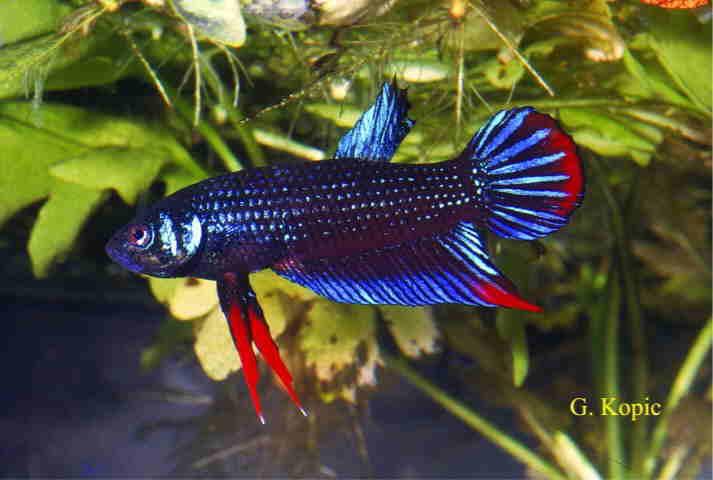 Ber 200l wassertyp 2 300l becken aquarium forum for Kampffisch becken
